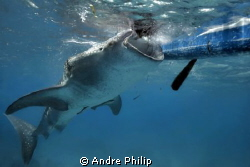 a hungry whaleshark on the surface by Andre Philip 